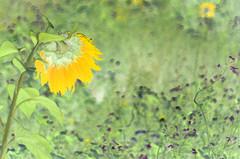 Zonnebloem (Floortje Walraven) Tags: bekhofweg zonnebloemen sunflower flower bloem bloemen geel yellow photoshop omkeren tint invert huw