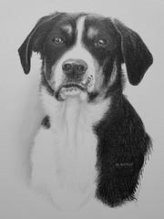 """Jigs"" *Explore* (bellydanser) Tags: portrait dog pencil graphite bw blackwhite animal pet monocrhome drawing art fineart artwork explore"