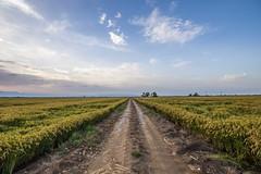 Delta de l'Ebra (aaamsss) Tags: rural coutryside ebra delta de lebra rice arros fields aaamsss nature