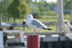Watching (Bucky-D) Tags: lakewinnipeg fz1000 gimli panasoniclumixdmcfz1000 seagull gull harbor beach manitoba canada ca