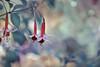 Fuchsia magellanica (Zara Calista) Tags: flower shallow dof bokeh pink blue pastel light white red sage outdoors plant tamron 180mm nikon d750 teal