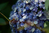Wasp and Hydrangea - Walk to Totsuka JRC 20170725 (Rick Cogley) Tags: 2017 cogley fujifilmxpro2 60mm 13200sec iso200 expcomp33 whitebalanceauto noflash programmodemanual camerasnffdt23469342593530393431170215701010119db2 firmwaredigitalcameraxpro2ver310 am tuesday july f24 apexev142 focusmodemanual lenstypexf60mmf24rmacro day summer hot yokohama totsuka kanagawa japan jp