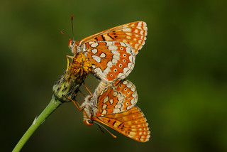 Euphydryas aurinia mating (5)