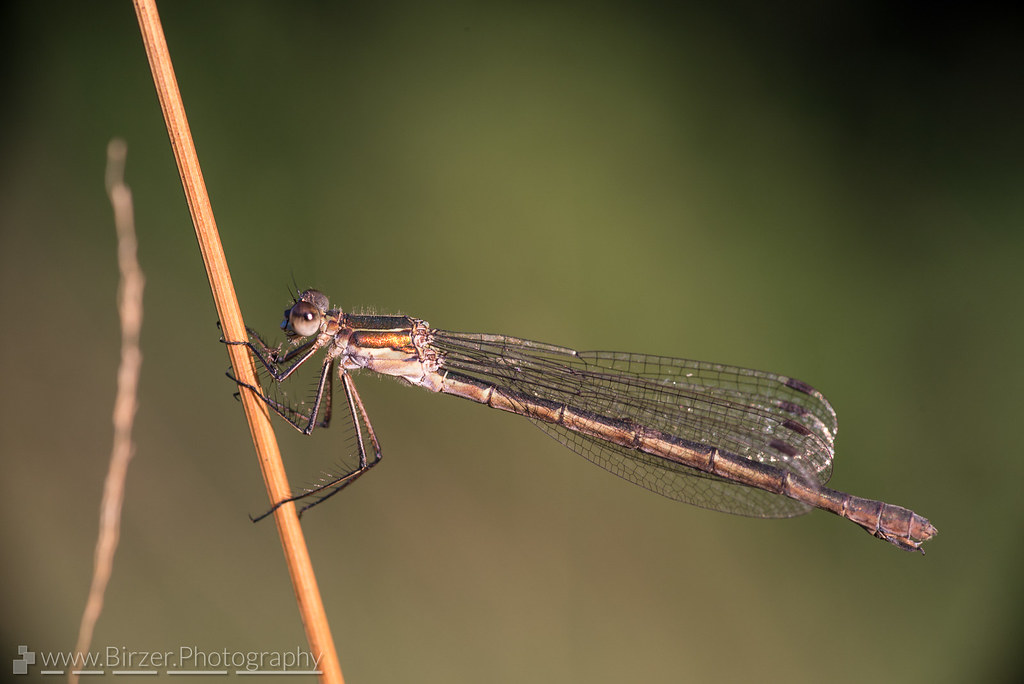 the world 39 s best photos of damselfly and female flickr hive mind. Black Bedroom Furniture Sets. Home Design Ideas