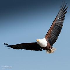500_2768.jpg (Laurent LALLEMAND) Tags: accipitriformes baringo oiseaux kenya accipitridae continentsetpays haliaeetusvocifer afrique africa ke ken