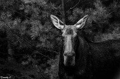 Momma moose in Algonquin Park Mammal Animal Head  Moose Canada Coast To Coast Beauty In Nature Outdoors NikonLife Ontario, Canada Nikon D7000 Monocrome Black & White Photography Algonquin Provincial Park (timmahh67) Tags: mammal animalhead moose canadacoasttocoast beautyinnature outdoors nikonlife ontario canada nikond7000 monocrome blackwhitephotography algonquinprovincialpark