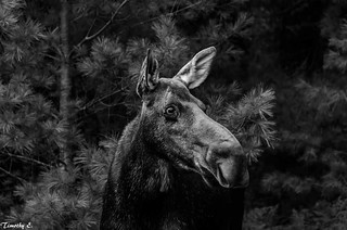 Momma moose profile Algonquin Provincial Park Black & White Photography Monocrome Nikon D7000 Ontario, Canada NikonLife Beauty In Nature Outdoors Canada Coast To Coast Moose Animal Head  Mammal Nature