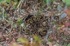 Postpartum horridus (mperez171) Tags: rattlesnake venomous timber crotalus horridus crotalinae herp herping snake reptile