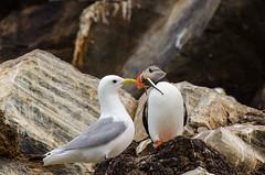 Puffin, kittiwake and a meal (tomaszberlin) Tags: bird animal nature wildlife bw nikon bokeh hornøya waia prey food fish sandeel puffin maskonur norway coast island north kittiwake d7000