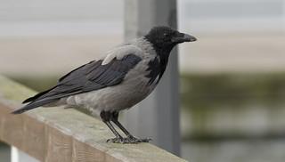 Wrona siwa - Corvus corone cornix - Hooded Crow