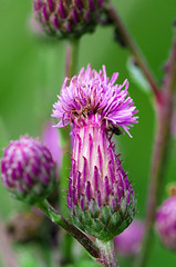 Cirsium arvense (ErrorByPixel) Tags: smcpentaxdfamacro100mmf28wr 10028 nature plant 100mm errorbypixel handheld macro green smc pentaxd fa f28 wr pentax k5 pentaxk5 cirsiumarvense cirsium arvense flower blur pentaxart