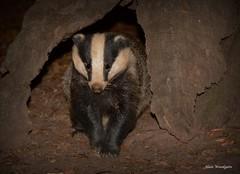 Badger (Meles meles) - Buckinghamshire (Alan Woodgate) Tags: wild badger uk night