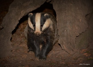 Badger (Meles meles) - Buckinghamshire