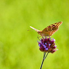 Argynnis Pandora (Female) (mikhailkorzhalov) Tags: canon tamron tamron70300 300mm f56 macro macrodreams nature naturallight wildlife wild wildlifephotography animal animals day outdoors flower flowers flora fauna insect insects flyinginsects butterfly butterflies closeup wing wings argynnis argynnispandora pandora green grasp grass