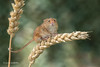 Hurry up, this is bending fast 500_0632.jpg (Mobile Lynn) Tags: nature rodents harvestmouse captive fauna mammal mammals rodent rodentia wildlife greensnorton england unitedkingdom gb coth specanimal ngc coth5 sunrays5 npc