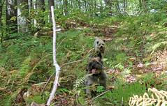 Sedum & Jeter - 9/21/17 (myvreni) Tags: vermont summer nature outdoors animals dogs cairnterriers pets