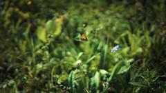 wie ein fisch im wasser... (_andrea-) Tags: sonyalpha7mii 50mm carlzeiss mount sonyzeiss objektiv 14f butterfly schmetterling sommervogel summer meadow latesummer