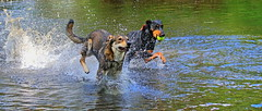 Playtime (acerman17) Tags: playtime dogs ball wet river splash hapiness