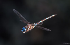 Dragonfly in Flight (Dude in CA) Tags: usa nevada henderson insectinflight dragonfly hendersonbirdviewingpreserve