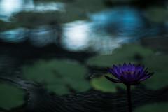 water lily and buzz (N.sino) Tags: xt1 planar85mm waterlily buzz wave ripple purpleflower 睡蓮 神代植物公園 ざわめき 波紋 ゆらぎ 漣