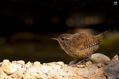 Carrica, Eurasian wren(Troglodytes troglodytes) (Nuno Xavier Moreira) Tags: carrica eurasianwrentroglodytestroglodytesemliberdadewildlifenunoxavierlopesmoreirangc animals animais aves de portugal observação nature natureza selvagem pics wildlife wildnature wild photographer birds birding birdwatching em bird ao ar livre ornitologia ngc nuno xavier moreira nunoxaviermoreira liberdade national geographic all xpress us troglodytestroglodytes eurasianwren