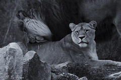 Féline Tendresse 02 (letexierpatrick) Tags: lion lionne félin nature noir noirblanc blanc animal extérieur france gris nikon nikond7000 monochrome zoo