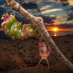 Puss moth caterpillar thumbnail