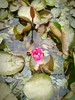 Something on green...3rd pics...Lotus bud! (Alvin Gunawan) Tags: lotus flower waterplant pond sacredlotus flowerbud nelumbonucifera