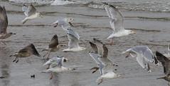 Gull flock (themadbirdlady) Tags: levenbeach levenno3800 gulls charadriiformes laridae larusargentatus