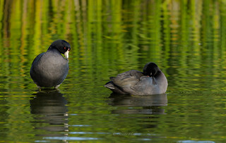 COOT COUPLE