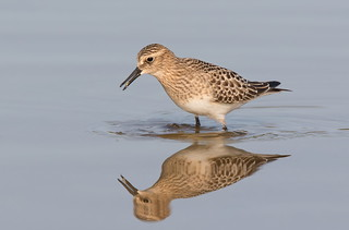 Baird,s Sandpiper with snack