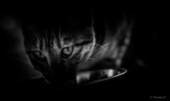 ๖ۣۜChasse ๖ۣۜGardée / (Pilouchy) Tags: chasse portrait chat noir monochrome blackandwhite cat felin eyes yeux lumiere animal life vie regard free wild canon bellissima