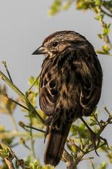 Uncommonly Beautiful Song Sparrow (MelRoseJ) Tags: sanrafael california unitedstates us lasgallinas sonyalpha sony sal70400g sonyilca77m2 a77ii alpha autofocus birds nature northerncalifornia songsparrow