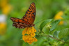 Gulf Fritillary Butterfly: On Explore 09-20-17 (Kelley&Kelley) Tags: florida flower butterfly insect garden nature wildlife wings nikon nikond7200 closeup specanimal