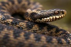 Adder (am_boere) Tags: adder macro reptiel reptile viperaberus vipera canon80d snake
