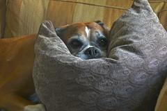 Comfy (Deepgreen2009) Tags: cushion chin dog pet boxer trixy resting comfort home sofa
