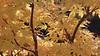 170927acer7549pw (GeoJuice) Tags: trees acers autumn autumncolours garden scotland geojuice