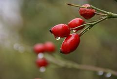 Hagebutten (rose hips) (HEN-Magonza) Tags: herbst autumn botanischergartenmainz mainzbotanicalgardens flora rheinlandpfalz rhinelandpalatinate germany deutschland