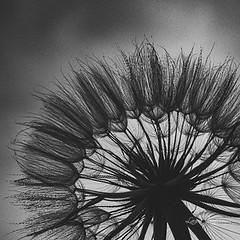 Weeds or wishes I (bylaurajean) Tags: dandelion weed black white wish