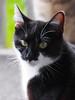 Majowe Fotki Mai 2017 (arjuna_zbycho) Tags: blackcat tuxedo tuxedocat kater hauskatze cat animal cute animals pets gato kitten feline kitty kittens pet tier haustier katzen gattini gatto chat cats