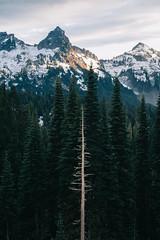(JuanCarViLo) Tags: national park mount rainier mountain wilderness green trees fair wild