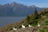 Sleeping With A View (espeeus) Tags: mountain landscape lake trail sheep dall alaska turnagainarm beauty wildlife