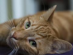 Billy (lauriepetsitterparis) Tags: billy chat minou miaou petsitter catsitter mignon cat roux