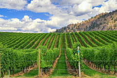 Day 225: A Vineyard in Osoyoos