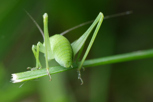Wrong End of the Katydid (HBBBT!)