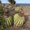 Turk's Cap cacti (melocactus intortus) (Ashley Coates) Tags: turkscap cacti saintbarth barts caribbean