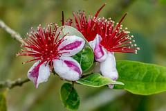Feijoa flower (Acca sellowiana) (PriscillaBurcher) Tags: accasellowiana guayabadelbrasil guayabodelbrasil feijoa fruta frutos fruit pineappleguava guavasteen guava flordelafeijoa feijoaflowers floweringtrees l1400304