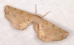 Parepisparis excusata (Victor W. Fazio III) Tags: lepidoptera moths australia manningvalley newsouthwales inaturalist parepisparisexcusata geometridae