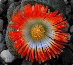 Vibrant LITHOPS (Lani Elliott) Tags: nature naturephotography lanielliott flower lithops garden homegarden succulent plant bright vibrant light orange bold gorgeous wow superb fantastic beautiful brilliant
