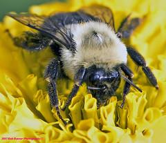 Bumble Bee (rumerbob) Tags: bumblebee bumblebeeonflower macrobug macrobumblebee insect bug longwoodgardens macro nature naturewatcher canon7dmarkii canon100mmmacrolens
